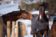 Deux chevaux d'amants Photos libres de droits