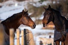 Deux chevaux d'amants Images stock