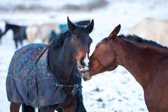 Deux chevaux d'amants Images libres de droits