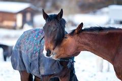 Deux chevaux d'amants Photographie stock