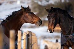 Deux chevaux d'amants Photos stock