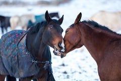 Deux chevaux d'amants Photographie stock libre de droits