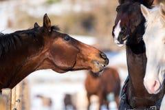 Deux chevaux d'amants Photo libre de droits