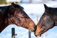 Deux chevaux d'amants Image libre de droits