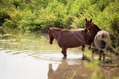 Deux chevaux dans l'eau Images stock