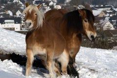 Deux chevaux dans la terre de neige Photo stock