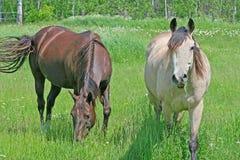 Deux chevaux dans le pâturage Photographie stock