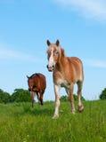 Deux chevaux dans le pâturage abondant de source Images libres de droits