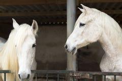 Deux chevaux dans un abri à Rojales Photographie stock libre de droits