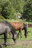Deux chevaux dans un domaine Photo libre de droits