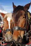 Deux chevaux dans une équipe Photo stock
