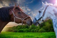 Deux chevaux de baie jouant les uns avec les autres Images libres de droits