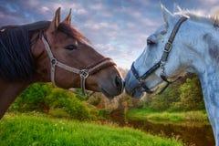 Deux chevaux de baie jouant les uns avec les autres Photos stock