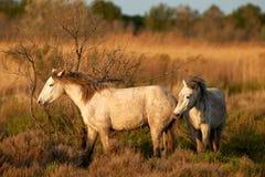 Deux chevaux de Camargue Photos stock