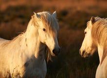 Deux chevaux de Camargue ont modifié la tonalité l'image Photo stock