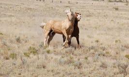 Deux chevaux de palomino jouent côte à côte des amis d'amis Photographie stock