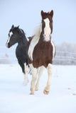 Deux chevaux de peinture jouant en hiver Photos libres de droits