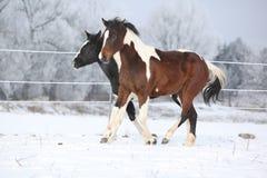 Deux chevaux de peinture jouant en hiver Photo libre de droits
