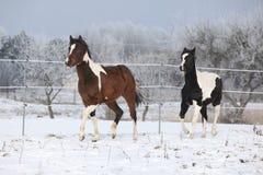 Deux chevaux de peinture jouant en hiver Photographie stock libre de droits