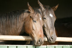 Deux chevaux de pur sang regardant au-dessus de la porte stable Photos stock