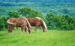 Deux chevaux de trait belges sur le p?turage vert de ressort du Texas photo libre de droits