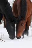 Deux chevaux en hiver image libre de droits