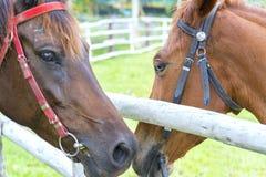 Deux chevaux ensemble dans l'amour Photos libres de droits