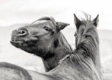 Deux chevaux espiègles de ranch se tenant ensemble, un appareil-photo de regard photos stock
