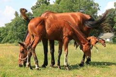 Deux chevaux et colts bruns Photographie stock libre de droits
