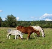 Deux chevaux et un bardeau image libre de droits