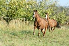 Deux chevaux fonctionnant sur le pâturage en automne images libres de droits