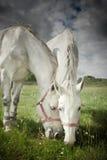 Deux chevaux frôlant dans le domaine Photo libre de droits