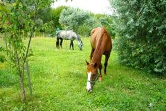 Deux chevaux frôlant dans un pré photo libre de droits