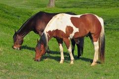 Deux chevaux frôlant dans un pré vert Image stock