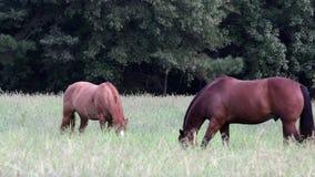 Deux chevaux frôlent paresseux dans le pâturage banque de vidéos