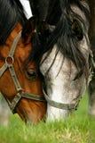 Deux chevaux frôlant dans un pâturage Photographie stock