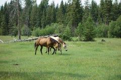 Deux chevaux frôlant dans un pâturage Photos stock