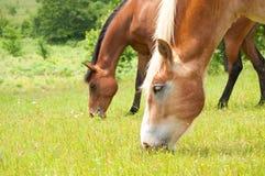 Deux chevaux frôlant dans un pâturage abondant Image stock