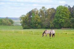 Deux chevaux frôlent dans le pâturage Photos libres de droits