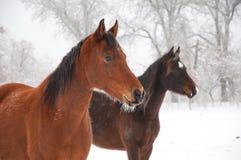 Deux chevaux givrés regardant fixement la distance Photographie stock