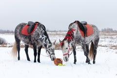 Deux chevaux gris Images libres de droits