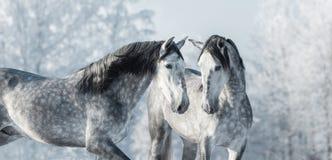 Deux chevaux gris de pur sang dans la forêt d'hiver Photographie stock libre de droits