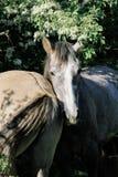 Deux chevaux gris se tiennent côte à côte sous la couronne verte de l'arbre photos stock