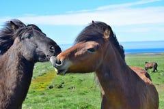 Deux chevaux islandais avec leurs têtes ensemble, on taquinant l'autre Baie et noir photographie stock libre de droits