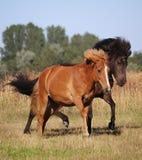 Deux chevaux islandais fonctionnants image libre de droits