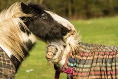Deux chevaux jouant dans des manteaux Images libres de droits