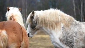 Deux chevaux jouent ensemble banque de vidéos