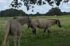 Deux chevaux mangeant dans le dossier Photographie stock libre de droits