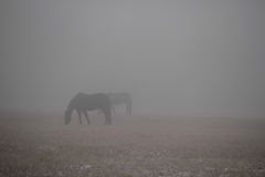 Deux chevaux perdus en brouillard dense Photos stock