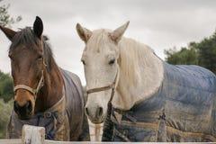 Deux chevaux portant des vêtements d'hiver Photos stock